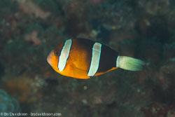 BD-110313-Puerto-Galera-3193-Amphiprion-chrysopterus.--Cuvier.-1830-[Orangefin-anemonefish].jpg